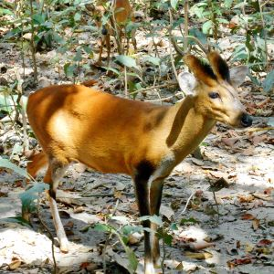 An Indian Muntjac