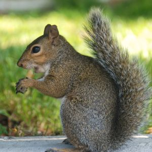annoying squirrel with his stolen french fry