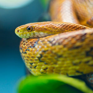 Another corn snake