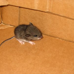 another mouse