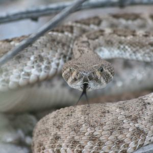 Another Rattlesnake Picture