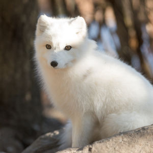 Arctic Fox Full Coat