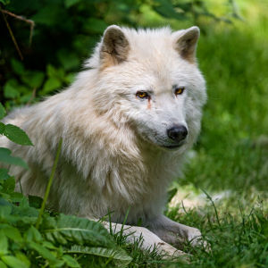 Arctic wolf in the vegetation