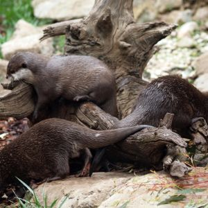 Asian Small-Clawed Otter ( Aonyx Cinerea): The Smallest Otter in The World