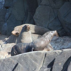 Australian fur seals male colony at The Friars - Pennicott Bruny Island cruise