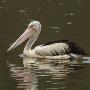 Australian Pelican - Atherton Tablelands - Queensland_S4E8187