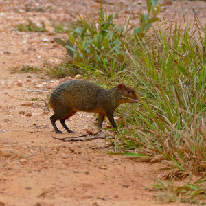 Azara's Agouti (Dasyprocta azarae) disappearing in the grass ...