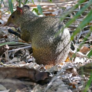 Azara's Agouti (Dasyprocta azarae) eating a fruit of Urucuri Palm (Attalea phalerata)