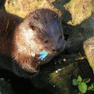 Neotropical River Otter photo