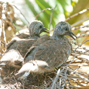 Baby spotted doves, 12 days old
