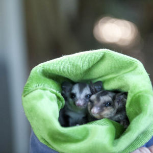 Baby Squirrel Gliders in care