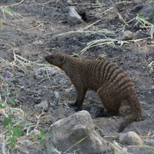Banded mongoose, Tarangire National Park (6)