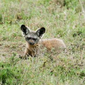Bat-eared Fox, Serengeti