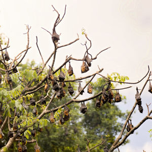 Bats (Flying Foxes)