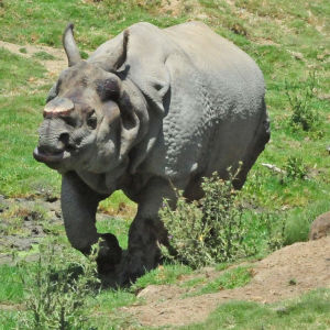Bhopu the Greater one-horned male Rhinoceros (Rhinoceros unicornis)