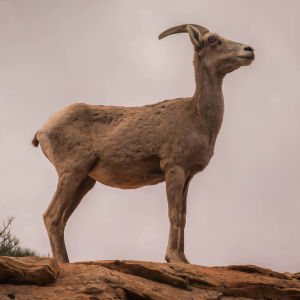 Bighorn sheep at Zion national park