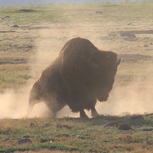 Bison in the Dust #2