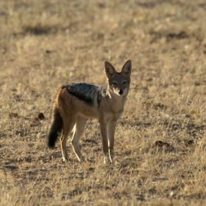 Black backed jackal, Kgalagadi Transfrontier Park, Northern Cape
