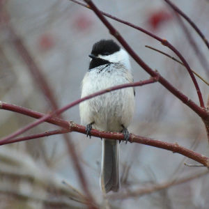 Black-capped Chickadee 04-12-2015 200