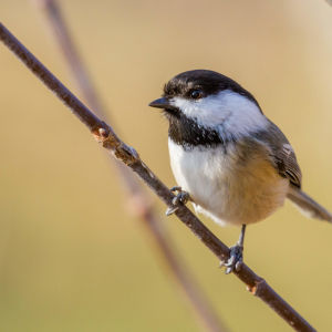 Black-Capped Chickadee [97/100]