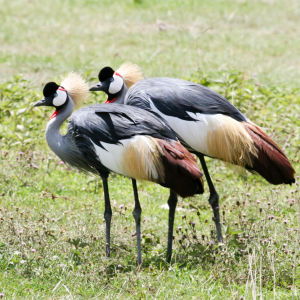 Black Crowned Crane, Ngorongoro crater