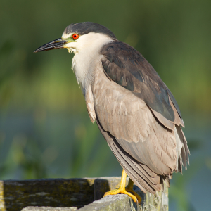 Black-crowned Night-Heron [Explored]