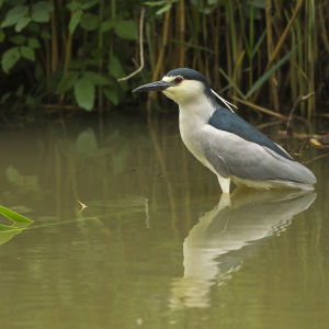 Black-crowned Night-Heron - Hortobagy - Hungary_S4E5316
