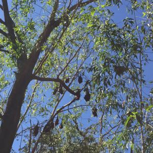 Black Flying Foxes and Little Red Flying Foxes at Nitmiluk