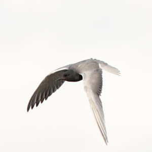 Black Tern, Little Mud Lake flooding, Roscommon Co., MI, June 4, 2012