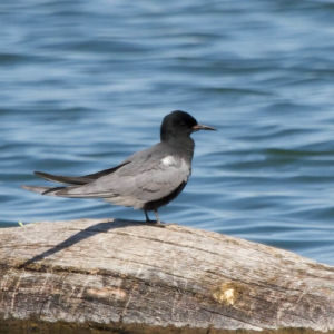 Black Tern|Malheur NWR|OR | 2014-05-14at10-34-2324