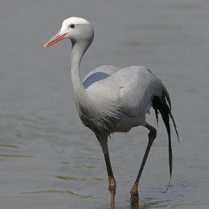 Blue crane, Grus paradisea, the national bird of South Africa