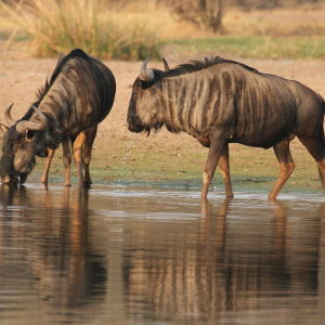 Blue wildebeest, Connochaetes taurinus (also called the common wildebeest or the white-bearded wildebeest) coming to drink early morning at Borakalalo National Park, South Africa