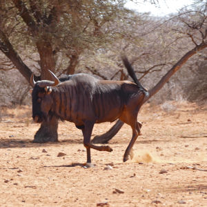 Blue Wildebeest (Connochaetes taurinus) running to the waterhole ...