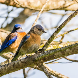 Bluebird in a Tree