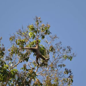 Bornean White Bearded Gibbon up in the trees