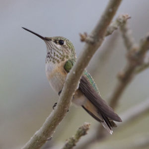Broad-tailed Hummingbird (female or immature) | Rusty's | Rodeo | NM | 2015-08-25at14-31-283