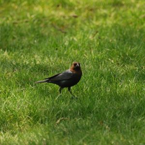 Brown-headed Cowbird, Male (Molothrus ater)