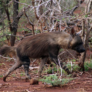 Brown hyena, Jaci's Lodges, Madikwe