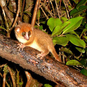 Brown Mouse Lemur. Microcebus Rufus