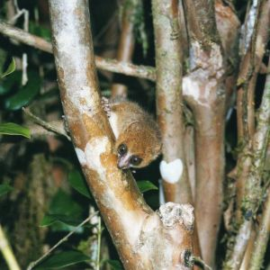 Brown Mouse Lemur (Microcebus rufus)
