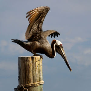 Brown Pelican at Ponce Inlet