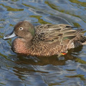 Brown Teal Male