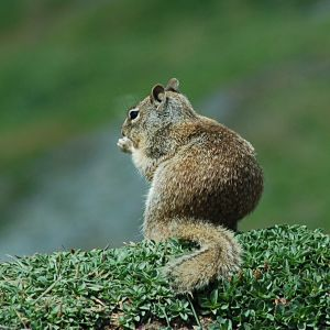 California Ground Squirrel 2014-05-27 (9)