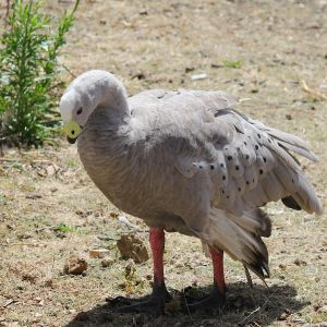 Cape Barren Goose (2)