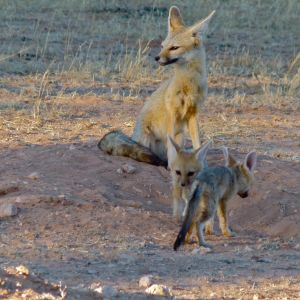Cape Foxes (Vulpes chama)