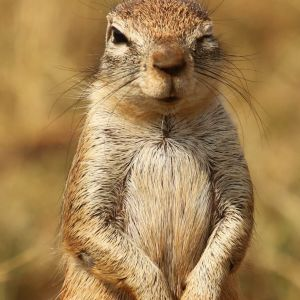 Cape ground squirrel, Xerus inauris, at Krugersdorp Game Reserve, Gauteng, South Africa