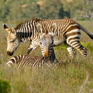 Cape Mountain Zebras (Equus zebra zebra) mare and foal ...
