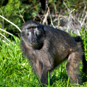 Cape Town Baboon