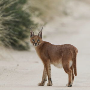 Caracal on the road, early morning in Kgalagadi