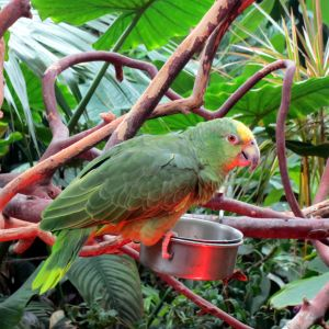 Casey the Yellow-Crowned Amazon